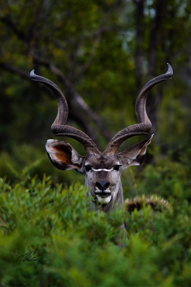 Kudu by mattjkennedy - The Wonders of the World Photo Contest