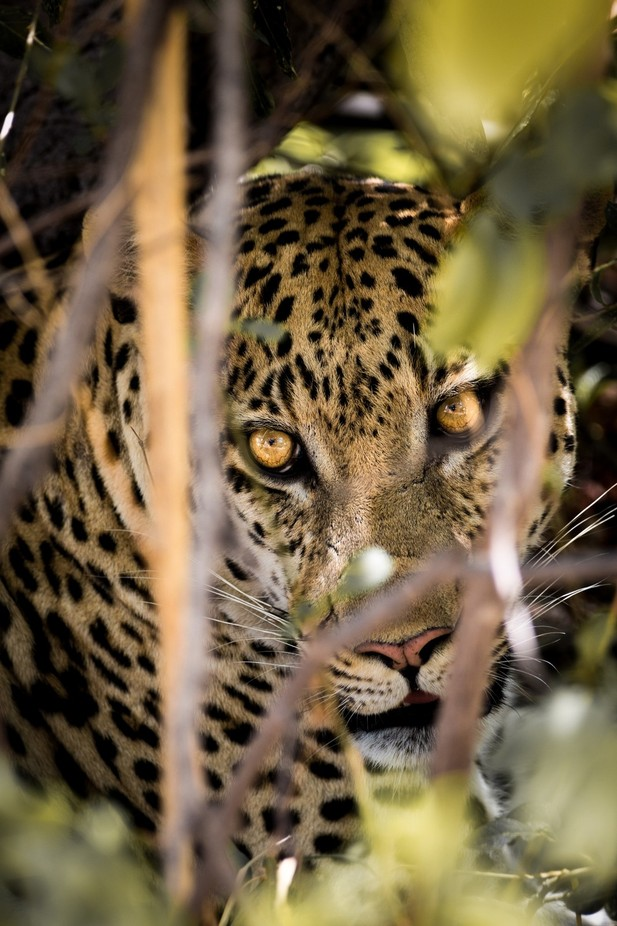 Leopard in Moremi by andytaylor756 - The Wonders of the World Photo Contest