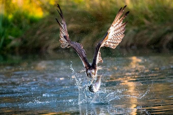 Osprey fishing 1 at Hornmill 2017 by Cinderellastory - The Wonders of the World Photo Contest