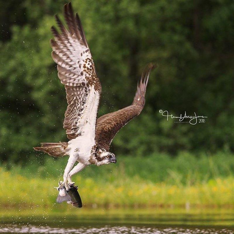 Gotcha! . . .  #osprey #scottishwildlife  #bbcwildlifemagazine #scottishwild by howardashton-jones - Celebrating Nature Photo Contest Vol 5