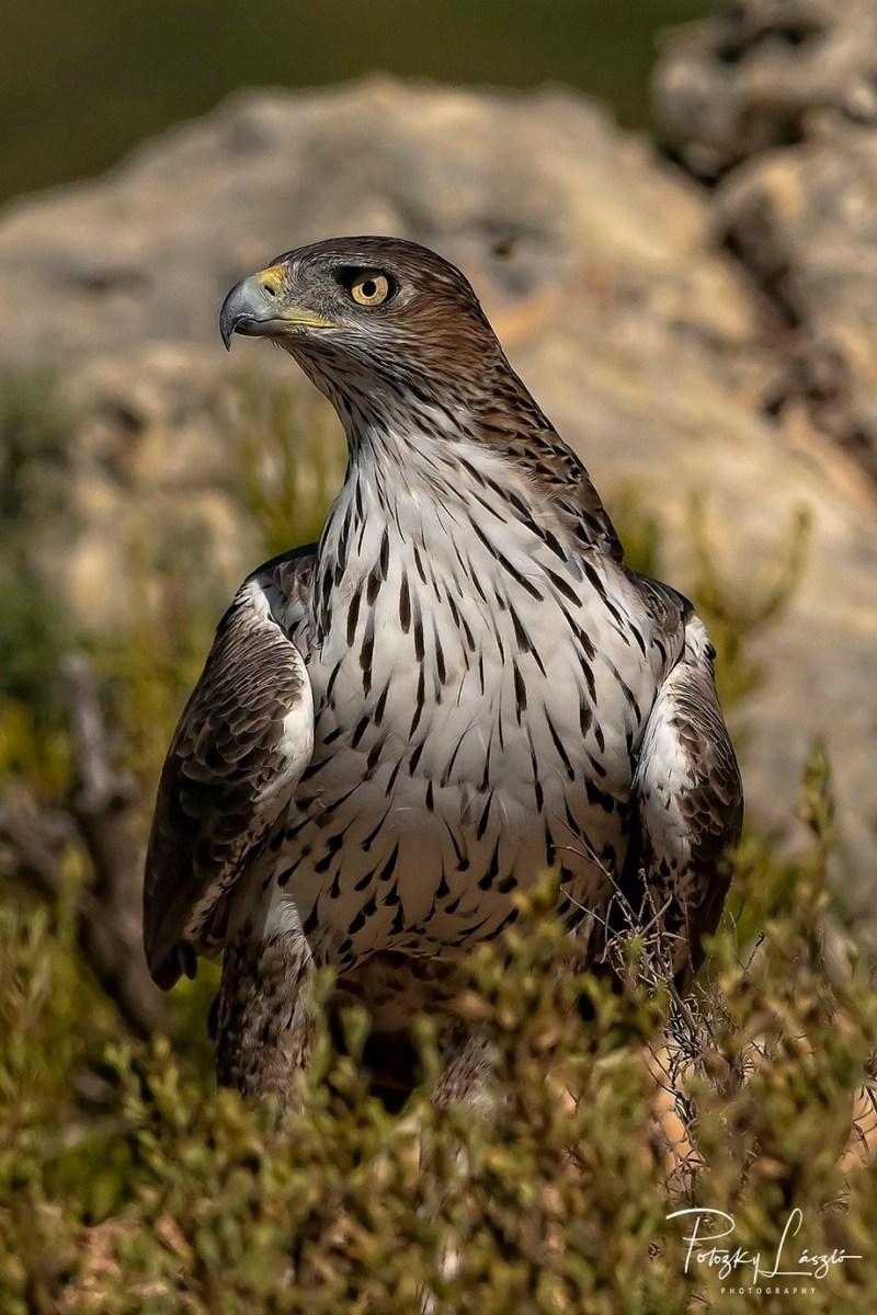 Male Bonelli's Eagle by lszlpotozky - Monthly Pro Photo Contest Vol 45