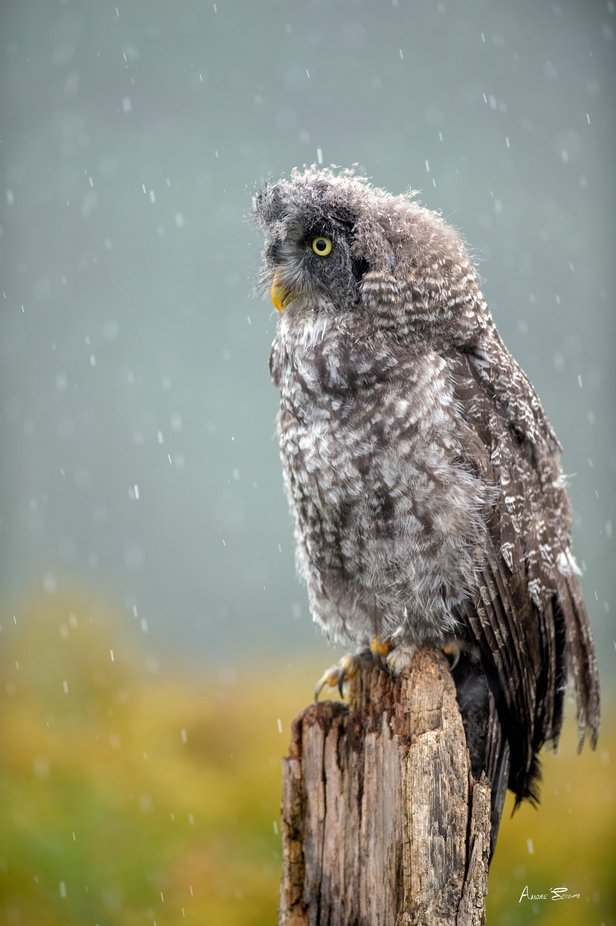 Great grey owl in the rain by AndreSecours - Covers Photo Contest Vol 51