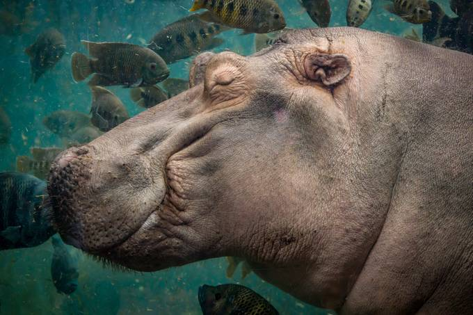 Happy Hippo by izzybouchard - The Wonders of the World Photo Contest