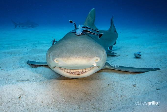 Lemon Shark Smiling  by carlosgrillo - Covers Photo Contest Vol 51