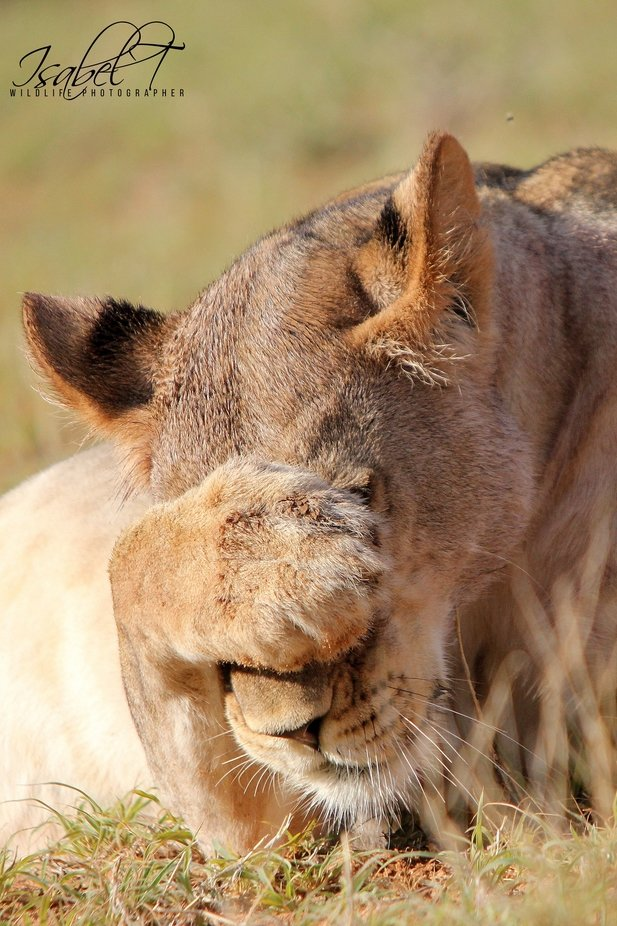 Oh my goodness lioness by italj - Shallow Depth Photo Contest
