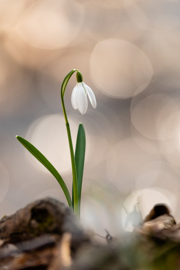 snowdrop by petergulyas - Shallow Depth Photo Contest