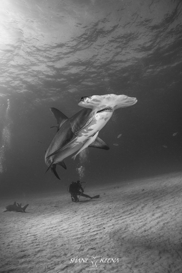 Great Hammerhead shark and diver by smkeena - Image Of The Month Photo Contest Vol 43