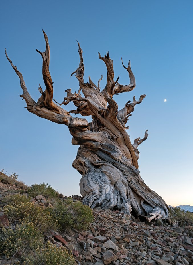 moonset over the ancient bristlecone pine forest by lucmena - Image Of The Month Photo Contest Vol 43
