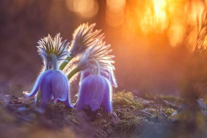 Pasque flowers by lukasjonaitis - Shallow Depth Photo Contest
