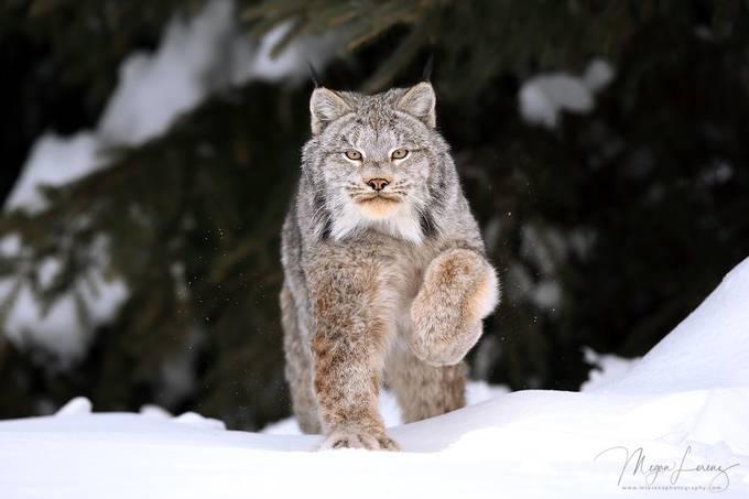 Wildcat by meganlorenz - My Best New Shot Photo Contest