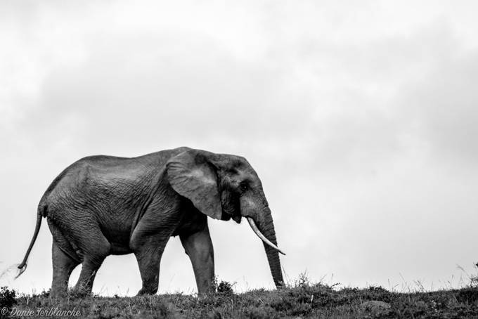 African Elephant by DanieTerblanche - My Best New Shot Photo Contest