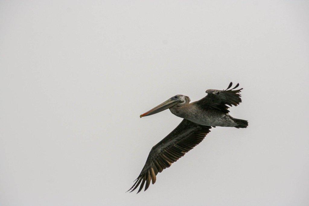 Pelikan - - Monterey Bay