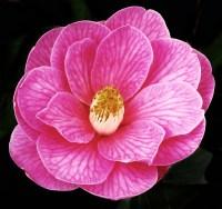 Philip Clewer_Camellia
