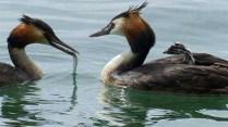 Steve Williams - Grebes on Lake (Nature - PDI, SOM)