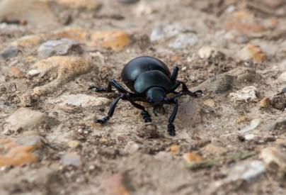 Jillian Koernich_Bloody-Nosed Beetle