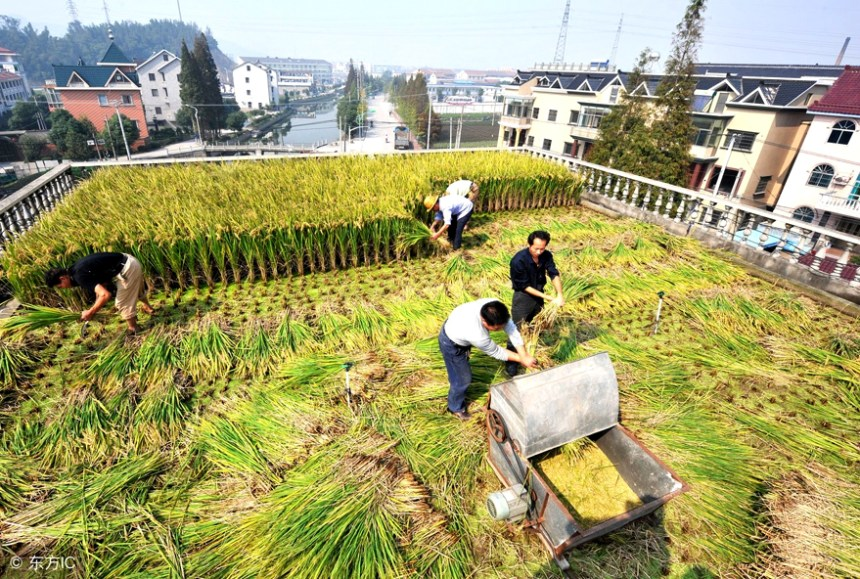 rice farm on rooftop