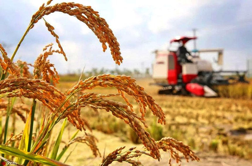 China S New Development In Rice Farming All Things Chinese