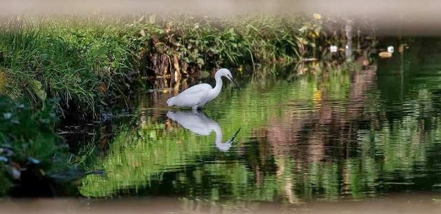 Little Egret Fishing - High Fliers and an Egret