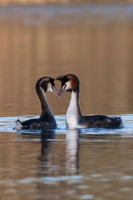 beak snapping - Great crested grebe dance