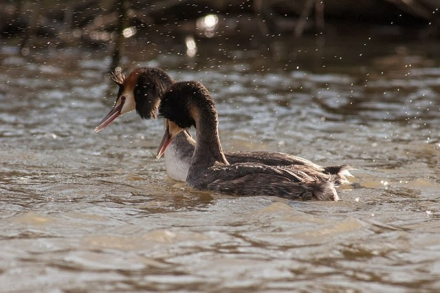 Great-crested grebes peering into the water for rival