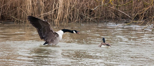 Amorous Canada Goose - Lodge Lake, Milton Keynes