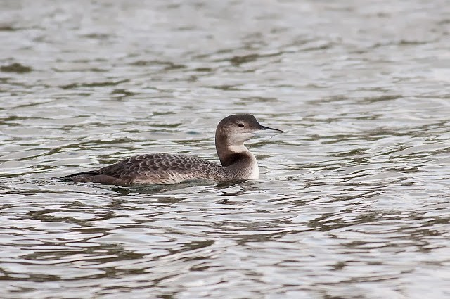 Great Northern Diver (Caldecotte Lake, Milton Keynes)
