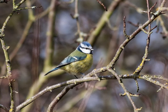 Blue Tit - One of the many birds that may come in