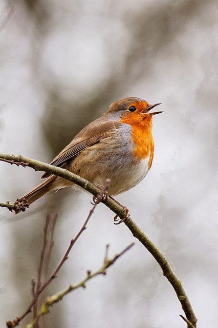 Robin in song