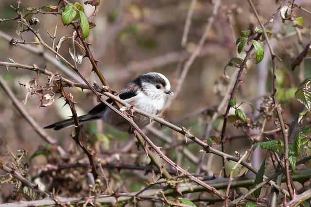 Long-tailed Tit, Loughton Valley Park, Milton Keynes