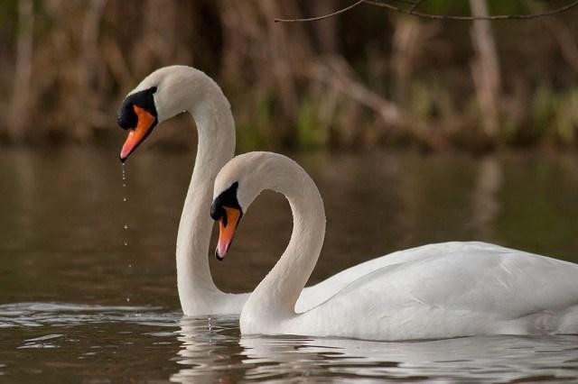 Mute Swans, mirroring