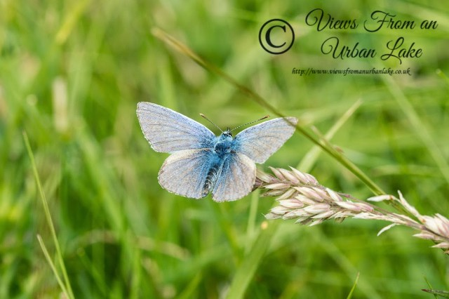 Common Blue - Loughton Valley Park, Milton Keynes