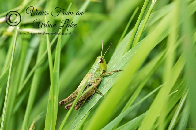 Grass Hopper - Loughton Valley Park, Milton Keynes