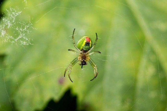 Green Spider - Lodge Lake, Milton Keynes