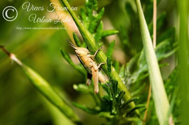Grasshopper Sp. - Lodge Lake, Milton Keynes