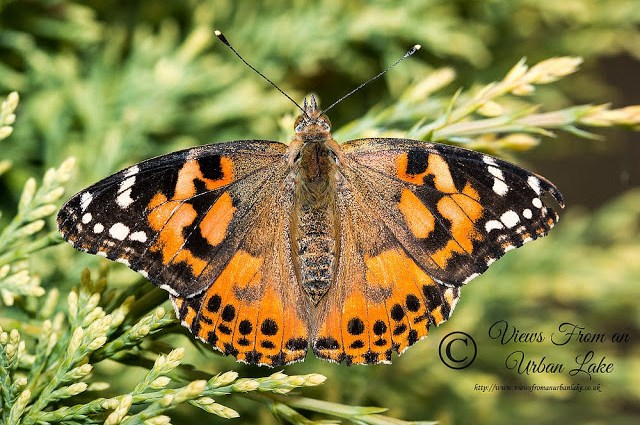 Insect Lore Live Butterfly Garden - Review - Painted Lady - Hatched from kit.