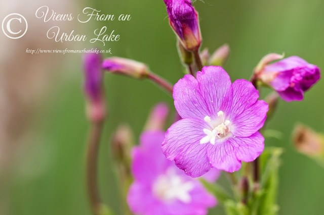 Purple Flower - Lodge Lake, Milton Keynes