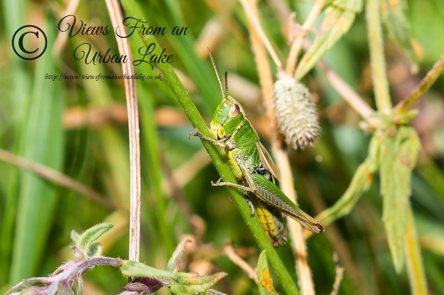Stripe-Winged Grasshopper - Tring Park, Herts