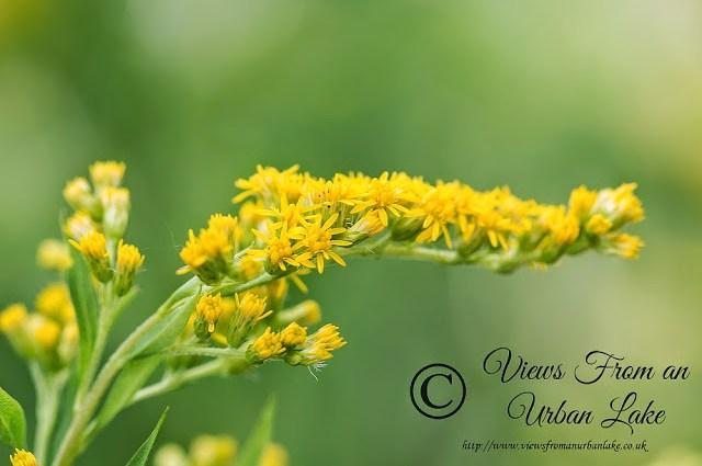 Yellow Flower from my garden