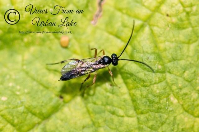 Unknown Wasp - Great Holm, Milton Keynes