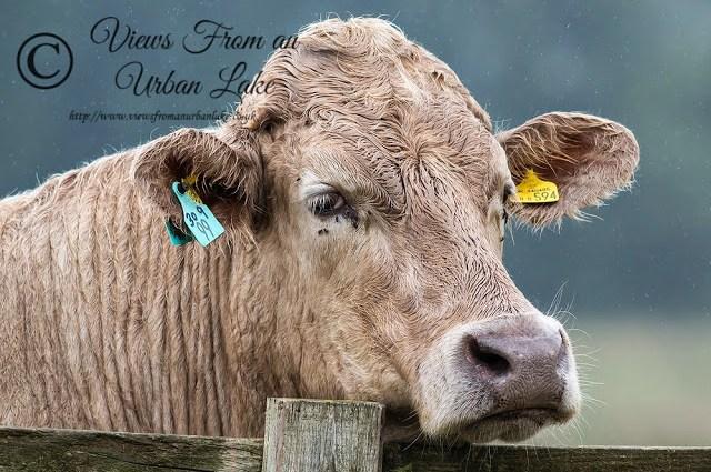 Cattle Head - Manor Farm, Milton Keynes