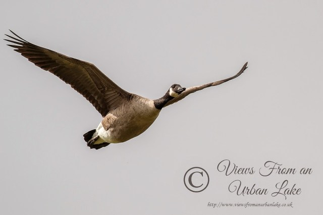Canada Goose (in flight) - Manor Farm, Milton Keynes