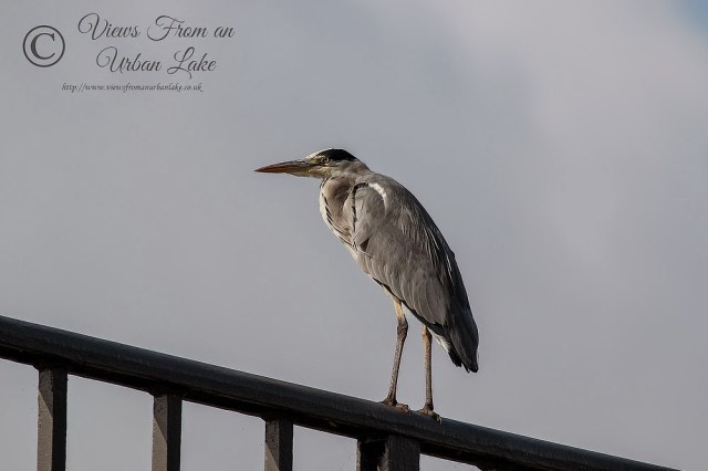 Grey Heron stood on the Iron Trunk Aqueduct - Wolverton, Milton Keynes