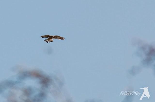 Common Kestrel (cropped photo)
