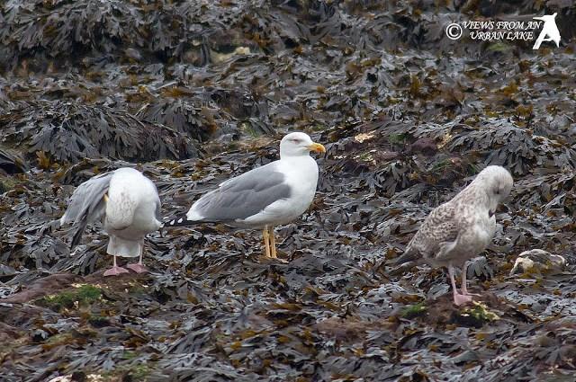 Adult Yellow-Legged Gull - Margate, Kent