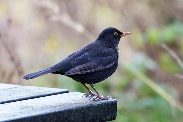Blackbird at Manor Farm