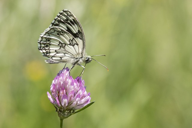 Marbled White - one of my top butterfly photos of the year