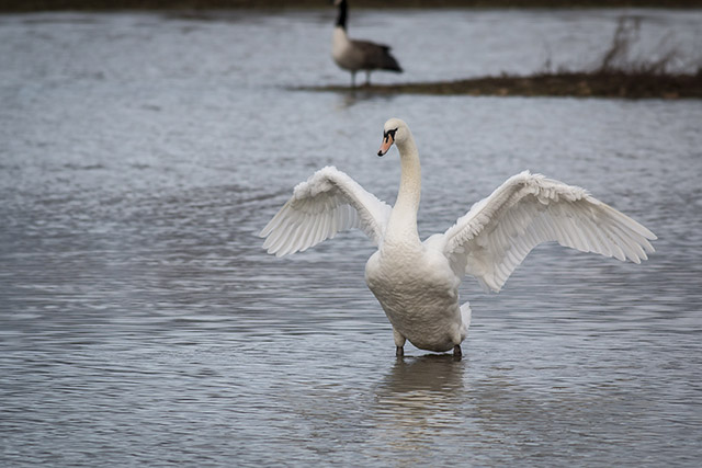 I Did It 2500 Miles Walked - Mute Swan flapping