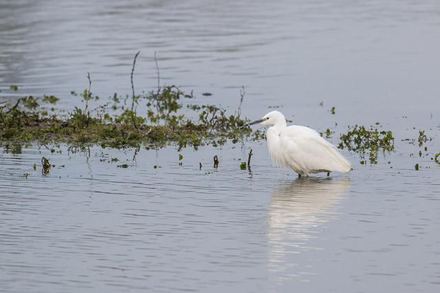 Wading Little Egret