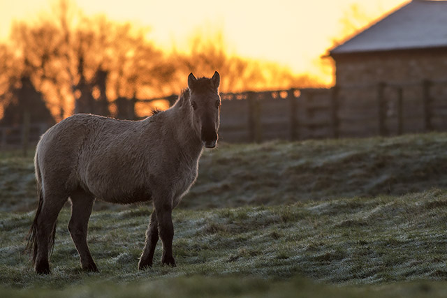 Pony on fire - sunrise behind a Konik Pony