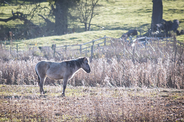 Winter has Arrived at the Floodplain Forest - Back lit Konik Pony at th Floodplain Forest Nature Reserve